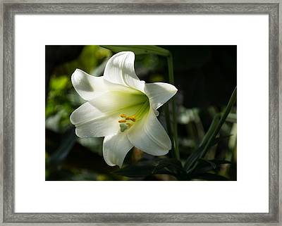 Divine Glow - Illuminated Pure White Easter Lily Framed Print by Georgia Mizuleva