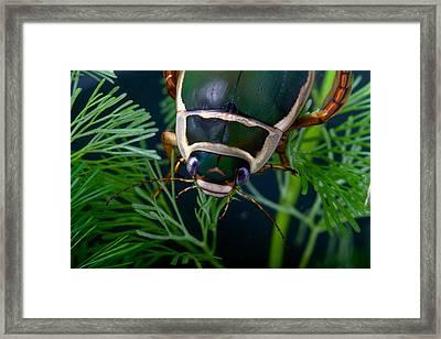 Diving Beetle Framed Print by Dirk Ercken