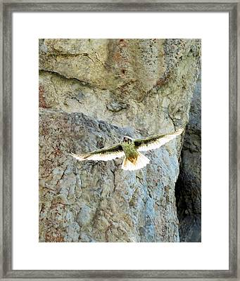 Diving Falcon Framed Print
