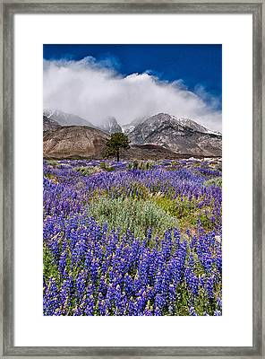 Division Creek Lupine Framed Print