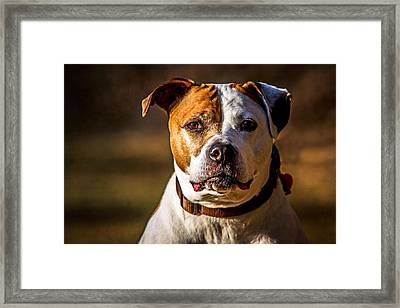 Framed Print featuring the photograph Dixie Doodle The Pit Bull by Eleanor Abramson