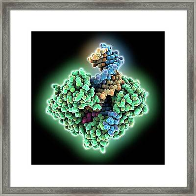 Dna Polymerase Bound With Dna Framed Print by Laguna Design