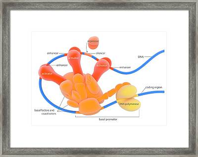 Dna Transcription Framed Print