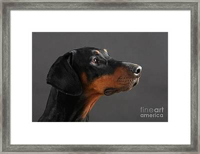 Doberman Pinscher Dog Framed Print by Christine Steimer
