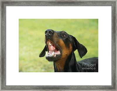 Doberman Pinscher Dog Framed Print by John Daniels