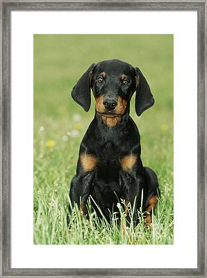 Doberman Pinscher Puppy Framed Print by Johan De Meester
