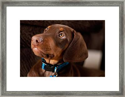 Doberman Puppy Framed Print by Cynthia Stephens