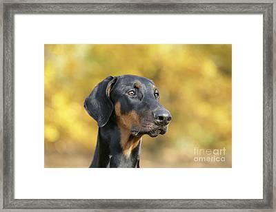 Dobermann Dog, In Autumn Framed Print by John Daniels