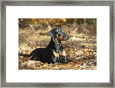 Dobermann Dog Framed Print by John Daniels