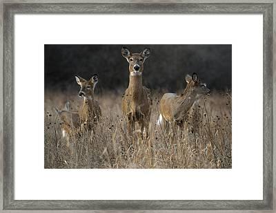 Doe And Yearlings Framed Print