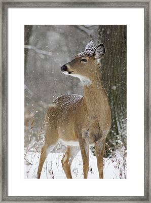 Doe In The Snow Framed Print