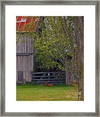 Doe Siesta Framed Print