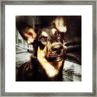 #dog #darcy #dogoftheday Framed Print