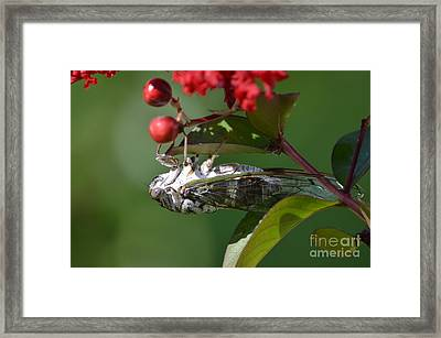 Dog Day Cicada Framed Print by Kathy Gibbons