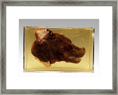 Dog Head Framed Print by Ucl, Grant Museum Of Zoology