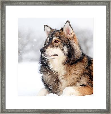 Dog In The Snow Framed Print by Grant Glendinning