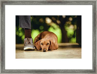 Dog Lying On Floor Under Table Framed Print by Ktsdesign