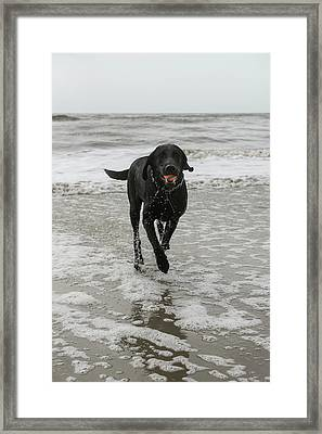 Dog On Beach, Little St Simon's Island Framed Print