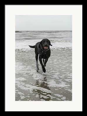Happy Labradors Framed Prints
