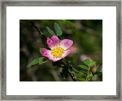 Framed Print featuring the photograph Dog-rose by Leif Sohlman