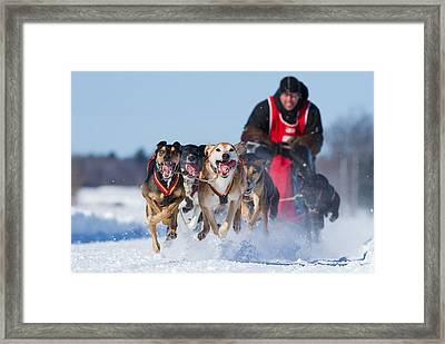 Dog Sledding Race Framed Print by Mircea Costina Photography