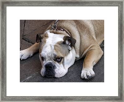 Dog. Tired. Framed Print