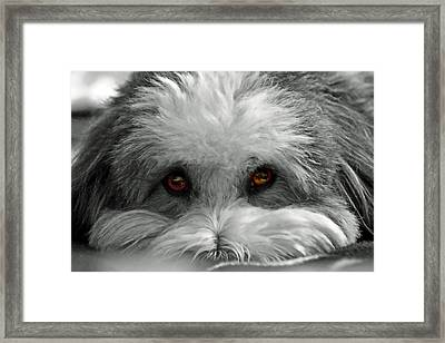 Coton Eyes Framed Print