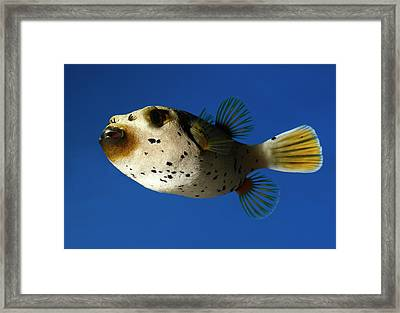 Dogface Pufferfish Framed Print by Nigel Downer