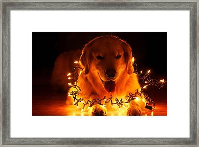 Doggy Wrapped In Christmas Lights Framed Print by Doc Braham