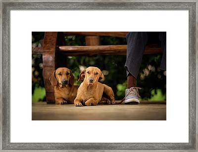 Dogs Lying On Floor Under Table Framed Print by Ktsdesign
