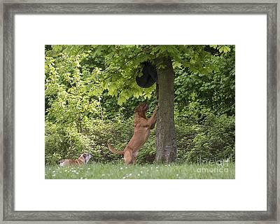 Dogue De Bordeaux Chasing Man Framed Print