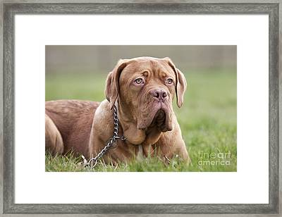 Dogue De Bordeaux Puppy Framed Print
