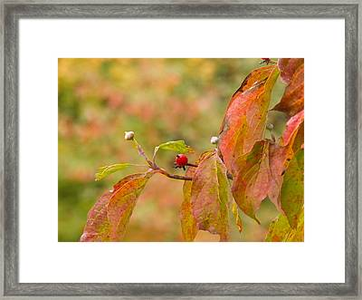 Framed Print featuring the photograph Dogwood Berrie by Nick Kirby