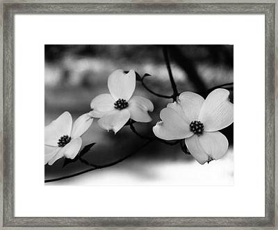Dogwood Black And White Framed Print by Andrea Anderegg