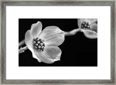 Dogwood Black And White Framed Print by JC Findley