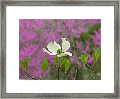 Dogwood Bloom Against A Redbud Framed Print