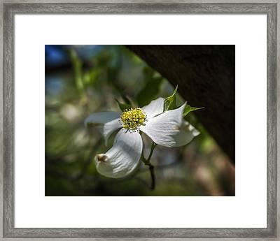 Dogwood Bloom In Shadows Framed Print by Lori Coleman