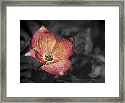 Dogwood Bloom Framed Print