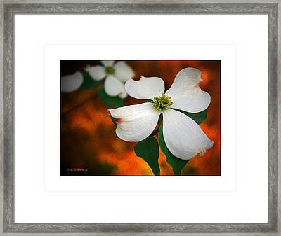 Dogwood Blossom Framed Print by Brian Wallace