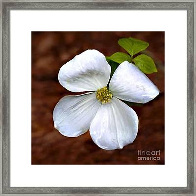 Dogwood Blossom Yosemite Framed Print