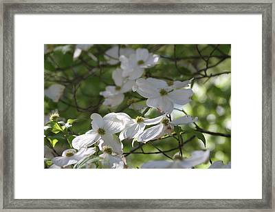 Dogwood Blossoms 3 Framed Print by Cathy Lindsey