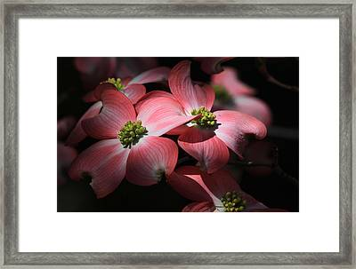 Dogwood Blossoms Framed Print by Donna Kennedy