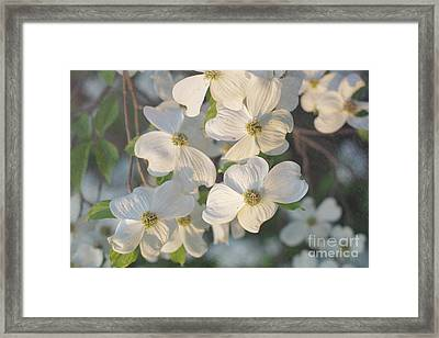 Dogwood Blossoms Framed Print by Kay Pickens