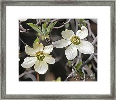 Dogwood Blossoms Framed Print by Kenny Bosak
