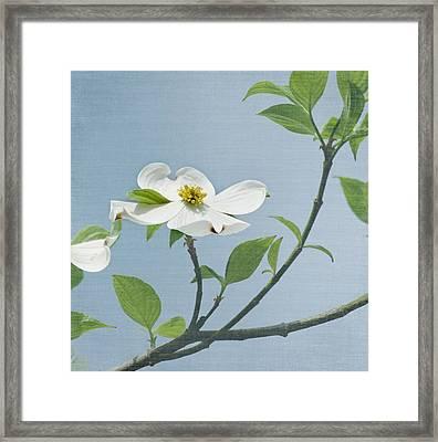 Dogwood Blossoms Framed Print by Kim Hojnacki