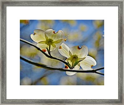 Dogwood Blossoms Framed Print by Linda Brown