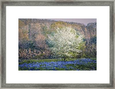 Dogwood Blues Framed Print by Debra and Dave Vanderlaan