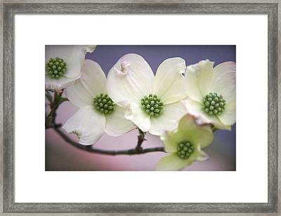 Dogwood Framed Print by CarolLMiller Photography