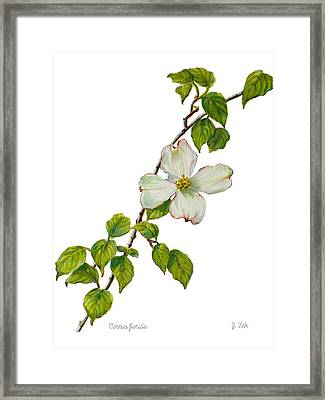 Dogwood - Cornus Florida Framed Print by Janet  Zeh