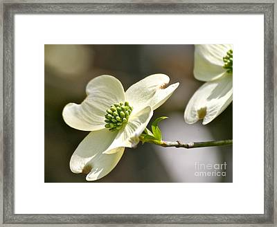 Dogwood Delight Framed Print by Eve Spring